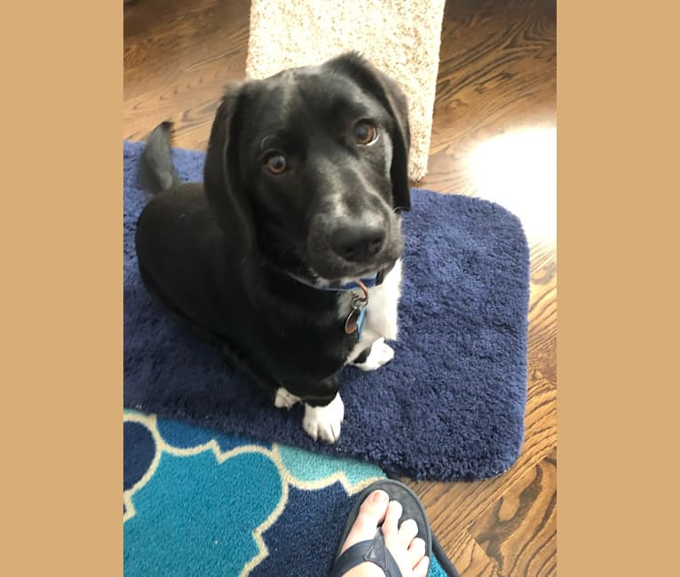 Photo of Auggie, a Beagle, Lhasa Apso, and Mixed mix in Kentucky, USA