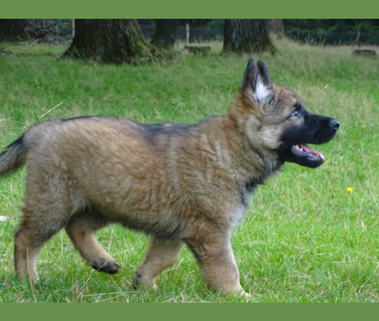 Photo of NOVA, a German Shepherd Dog  in Loenen, Nederland