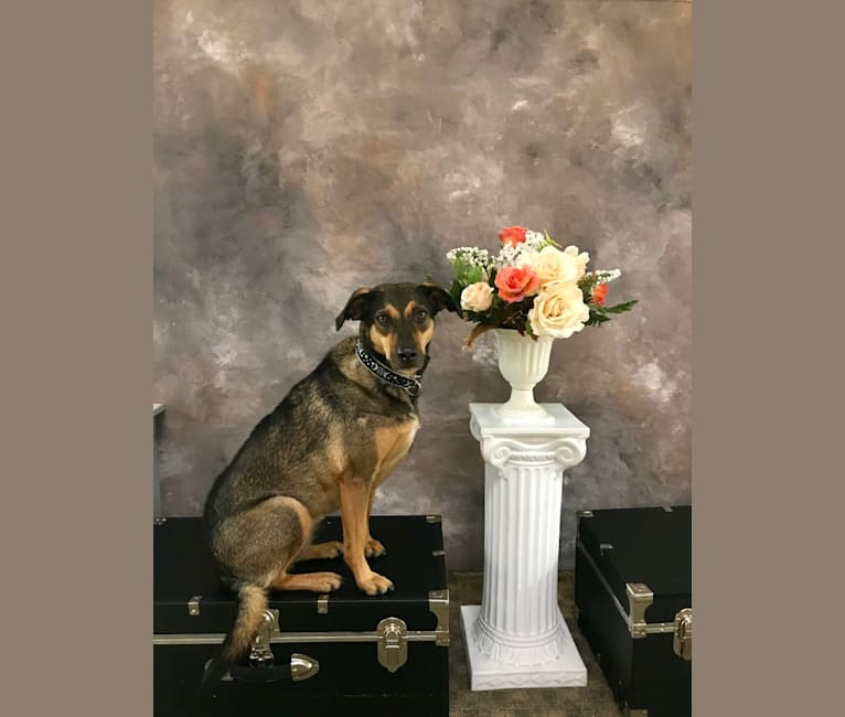 Photo of Sugar, a Golden Retriever, Labrador Retriever, German Shepherd Dog, Rottweiler, Boxer, and Mixed mix in Puerto Peñasco, Sonora, Mexico