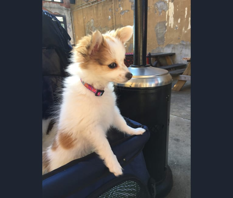 Photo of Flora, a Papillon, Pomeranian, and Chinese Crested mix in Garland, Texas, USA