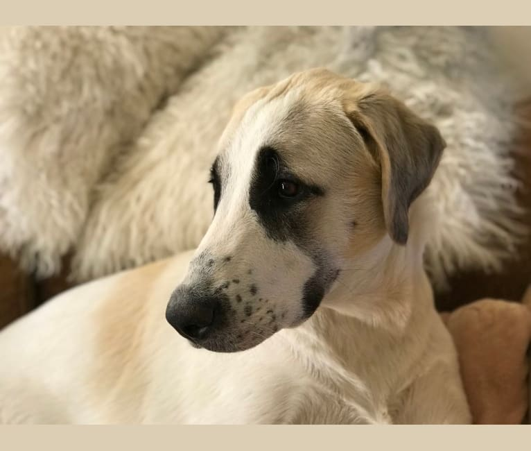 Photo of Rocket, an Anatolian Shepherd Dog  in Clements, California, USA