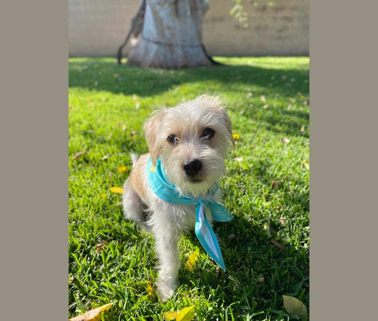 Photo of Ozzie, a Chihuahua, Poodle (Small), Shih Tzu, and Maltese mix in Covina, California, USA
