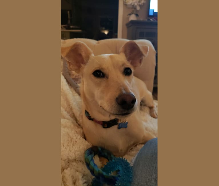 Photo of Stella, a Chihuahua, Mountain Cur, Collie, and Mixed mix in Sharpsburg, Georgia, USA