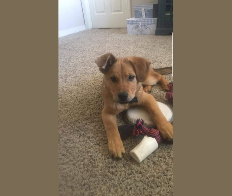 Photo of Copper, a German Shepherd Dog, American Pit Bull Terrier, Australian Cattle Dog, and Chow Chow mix in El Paso, TX, USA
