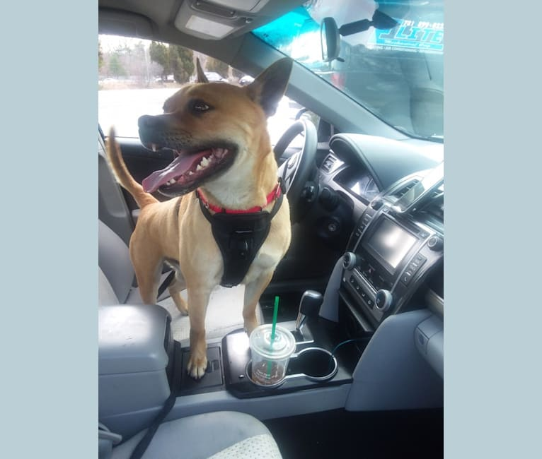 Photo of Willie, an American Pit Bull Terrier, Chow Chow, and Mixed mix in Massachusetts, USA