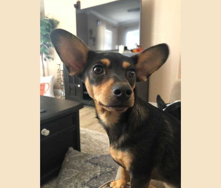 Photo of Remy, a Dachshund and Chihuahua mix in Albuquerque, New Mexico, USA