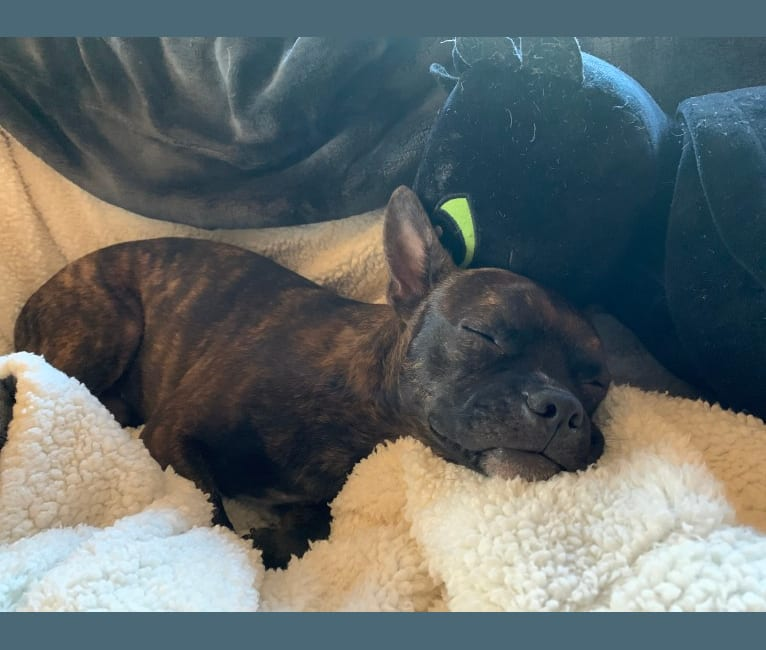 Photo of Puma, a Boston Terrier, American Pit Bull Terrier, and Mixed mix in Hawaii, USA