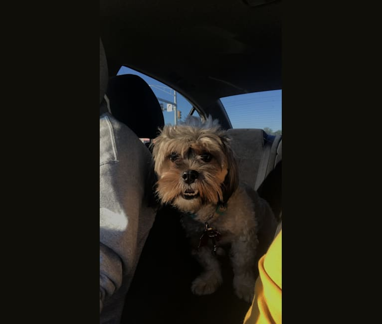 Photo of Ginger, a Shih Tzu and Yorkshire Terrier mix in Maryland, USA
