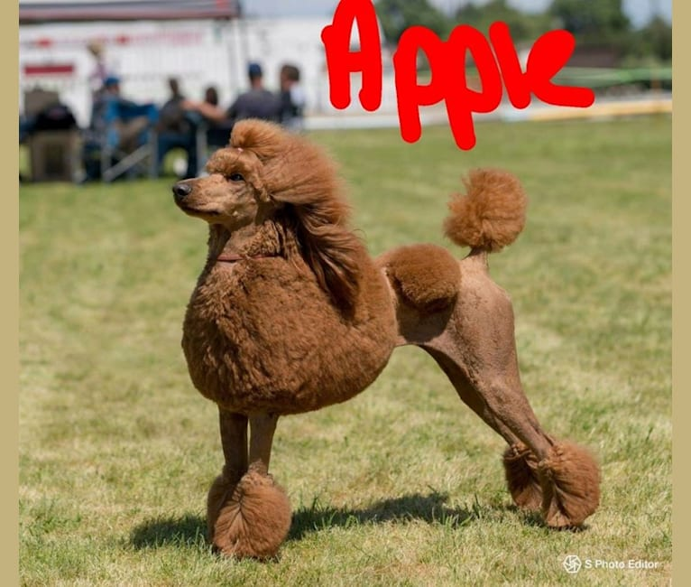 Photo of Apple, a Poodle (Standard)  in Maryland, USA