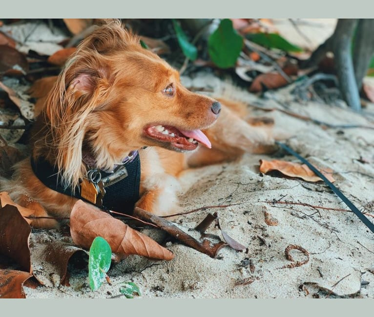 Photo of Coconut, an American Pit Bull Terrier, Chihuahua, Poodle (Small), and Mixed mix in St. Thomas, U.S. Virgin Islands