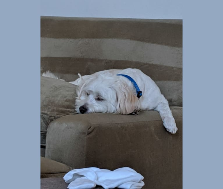 Photo of Murray, a Poodle (Small), Bichon Frise, Chihuahua, Maltese, and Mixed mix in Port Hueneme, California, USA