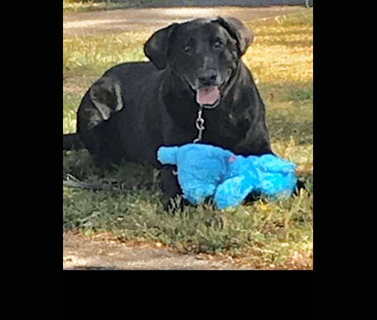 Photo of Buddy, a Labrador Retriever  in Northfield, New Jersey, USA