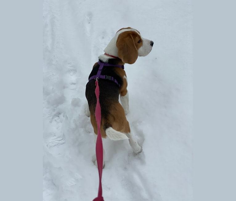 Photo of Casey, a Beagle  in Michigan, USA