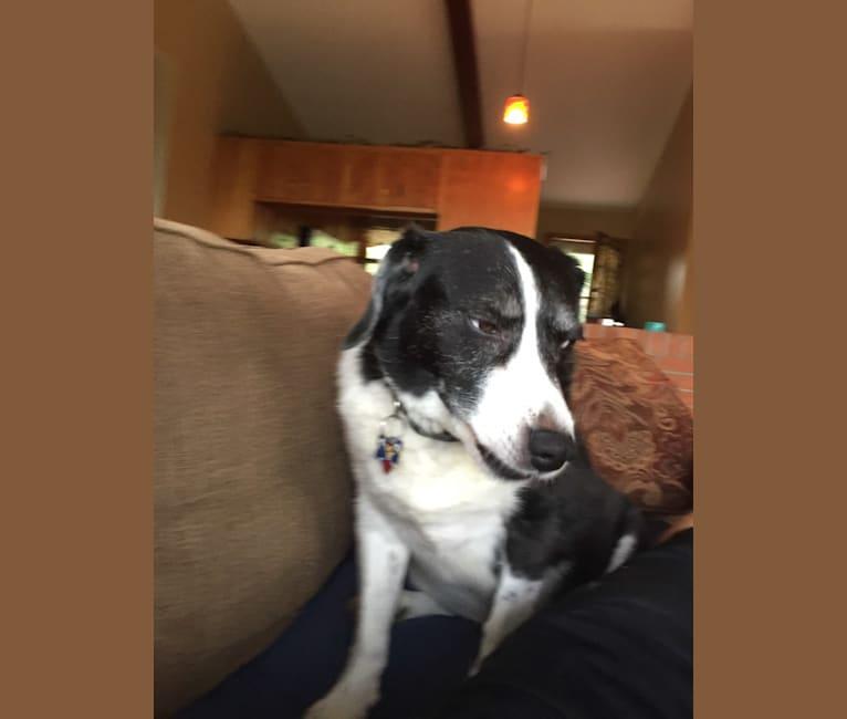 Photo of Doyle, a Beagle, Border Collie, and Mixed mix in Palmyra, Virginia, USA