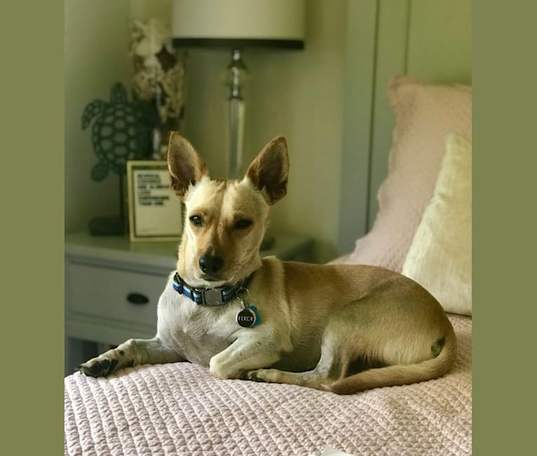 Photo of Ferdi, an American Village Dog and Chihuahua mix in Puerto Rico
