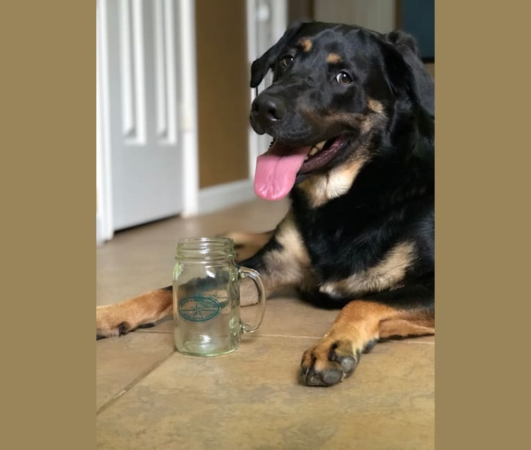 Photo of Santi-Pooh, a Labrador Retriever and German Shepherd Dog mix in Houston, Texas, USA