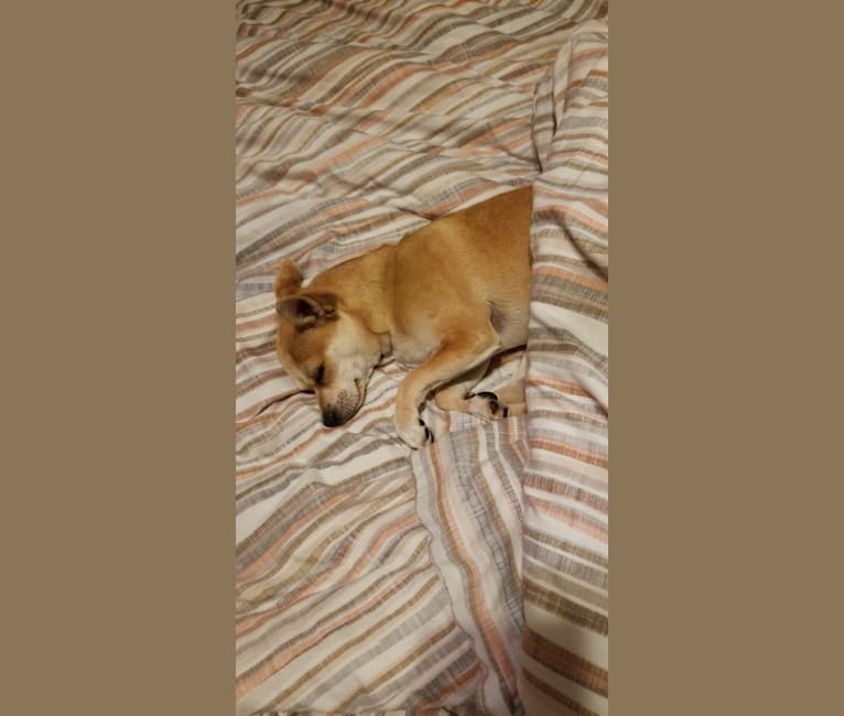 Photo of JOE, a Chihuahua and Yorkshire Terrier mix in Chesterfield, England, United Kingdom