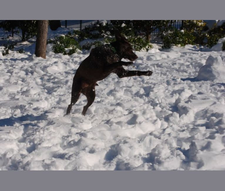 Photo of Levi, a Labrador Retriever mix in Richmond, VA, USA