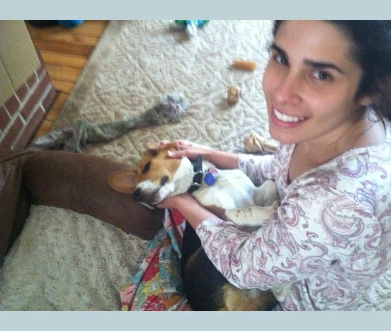 Photo of Niko, a Beagle  in Oakdale, Pennsylvania, USA
