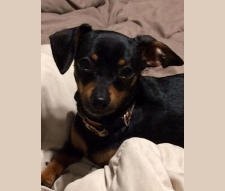 Photo of Penny, a Dachshund and Chihuahua mix