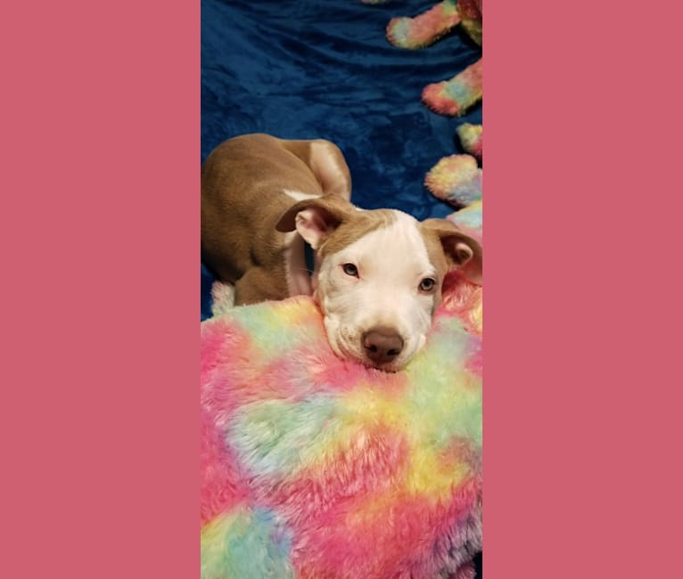 Photo of Lucian, an American Pit Bull Terrier  in San Luis Obispo Animal Services, Oklahoma Avenue, San Luis Obispo, CA, USA