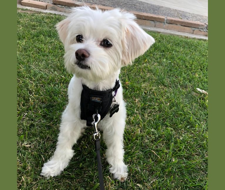 Photo of juniper, a Poodle (Small), Chihuahua, Cocker Spaniel, and Mixed mix