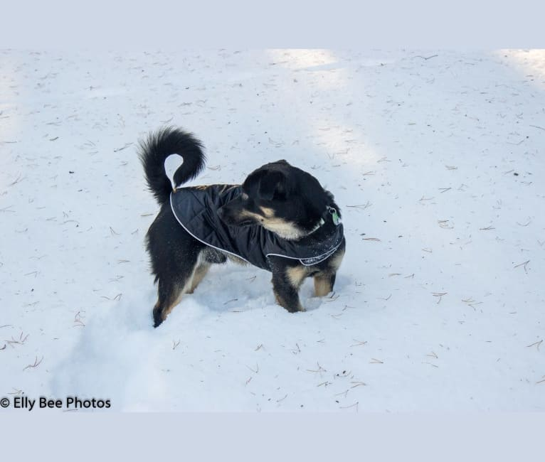 Photo of Oscar, a Poodle (Small), German Shepherd Dog, Cocker Spaniel, and Mixed mix in Birch River, Manitoba, Canada