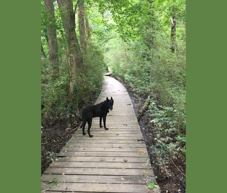Photo of Captain, a Belgian Shepherd  in Atlanta, Georgia, USA