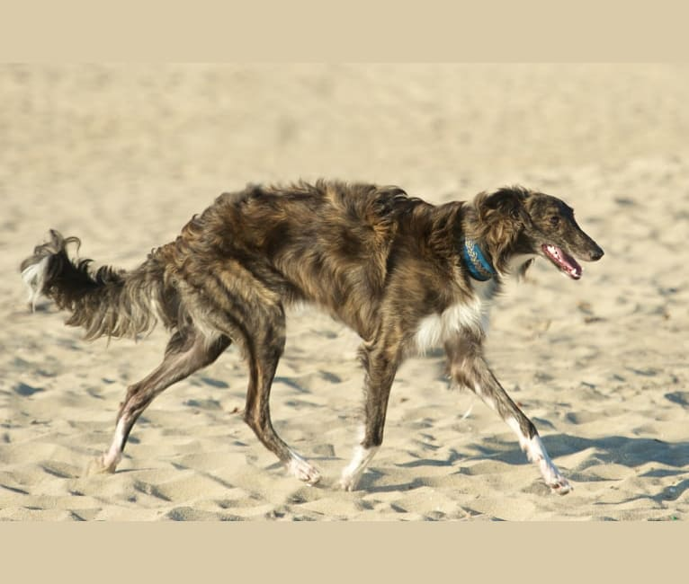 Photo of Smoky, a Silken Windhound