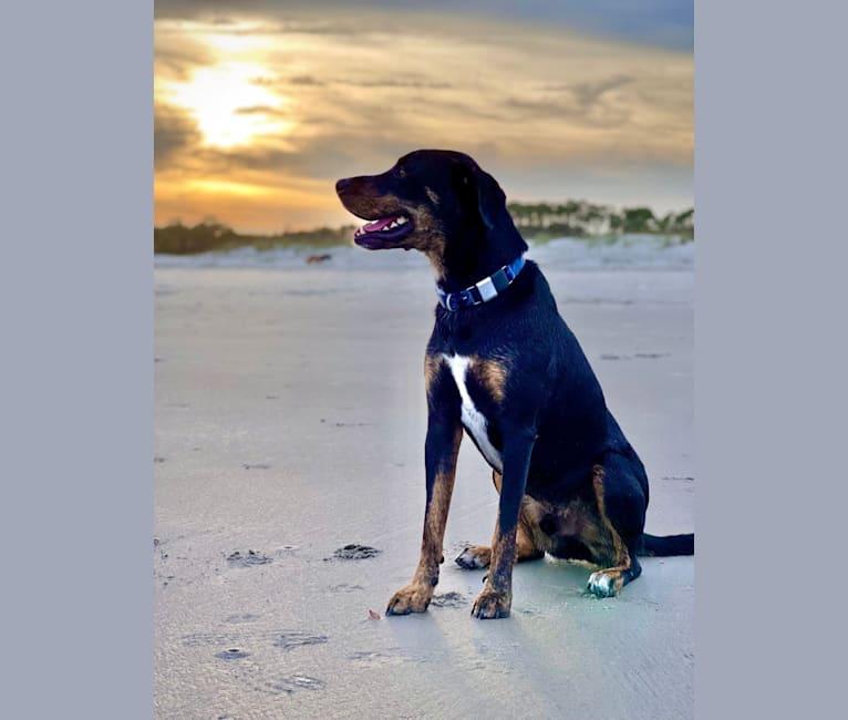 Photo of Achilles, an American Pit Bull Terrier, Chow Chow, Labrador Retriever, and Boxer mix in Marietta, Georgia, USA