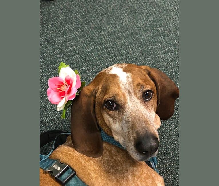 Photo of Stonewall, an American English Coonhound  in North Carolina, USA