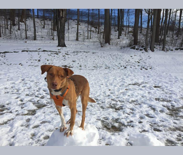 Photo of Cyrus, a Labrador Retriever, Miniature/MAS-type Australian Shepherd, German Shepherd Dog, and Rottweiler mix