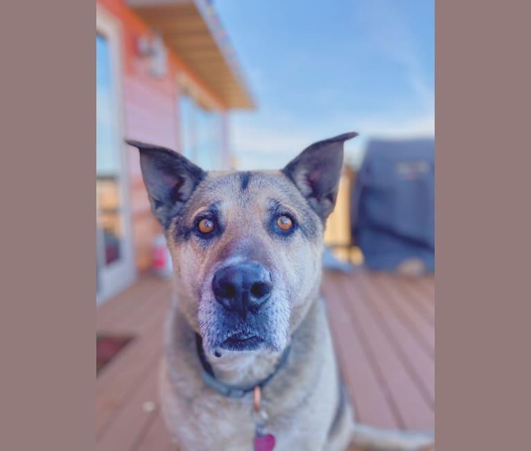 Photo of Tiko, a German Shepherd Dog, Perro de Presa Canario, and Mixed mix in Foley, MN, USA