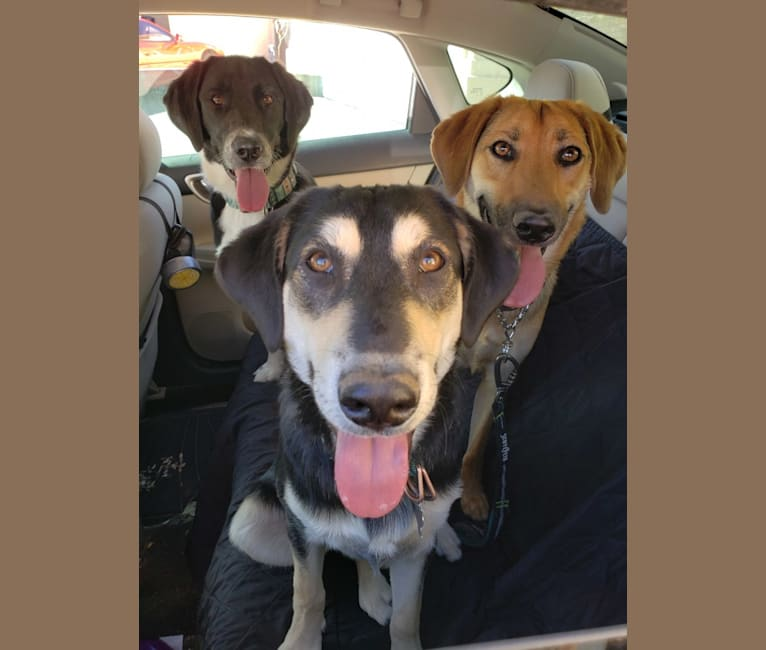 Photo of Molly, a Labrador Retriever, Bluetick Coonhound, German Shepherd Dog, and American Pit Bull Terrier mix in Pala, California, USA