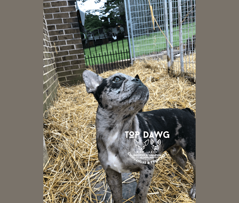Photo of Top Dawgs ink machine explosion, a French Bulldog  in Ukraine