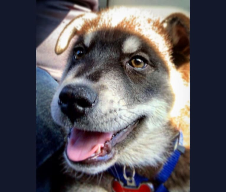 Photo of Apollo, a Siberian Husky, Chow Chow, Australian Cattle Dog, and Russell-type Terrier mix in Odessa, Texas, USA
