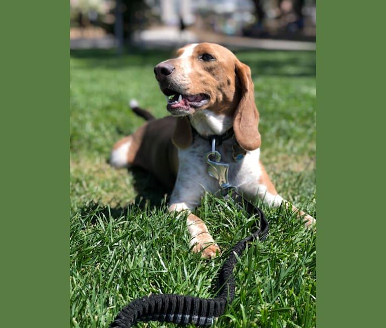 Photo of Trixie, a Beagle  in Lamar, MO, USA