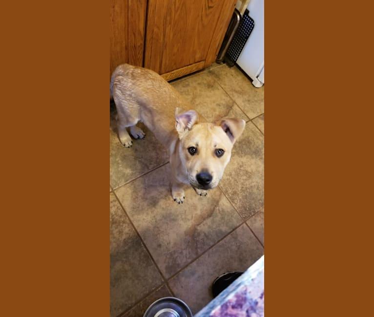 Photo of Renji, an American Pit Bull Terrier, Labrador Retriever, and German Shepherd Dog mix in Winchendon, Massachusetts, USA