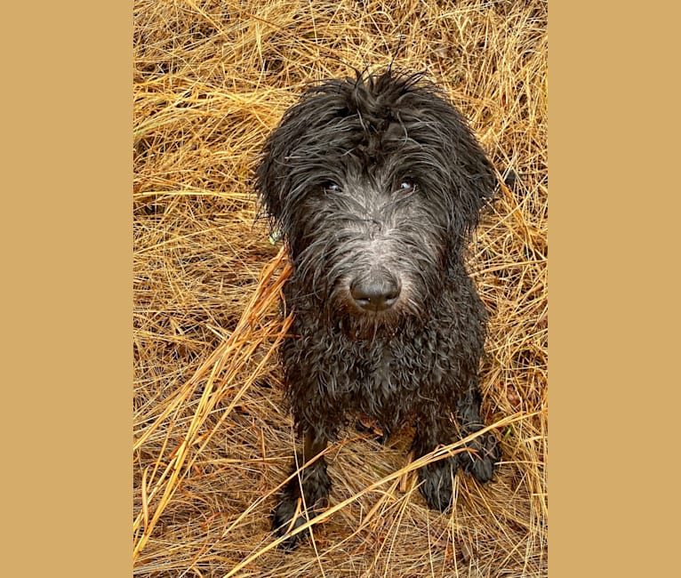 Photo of Ellie, a Goldendoodle  in Knoxville, Arkansas, USA