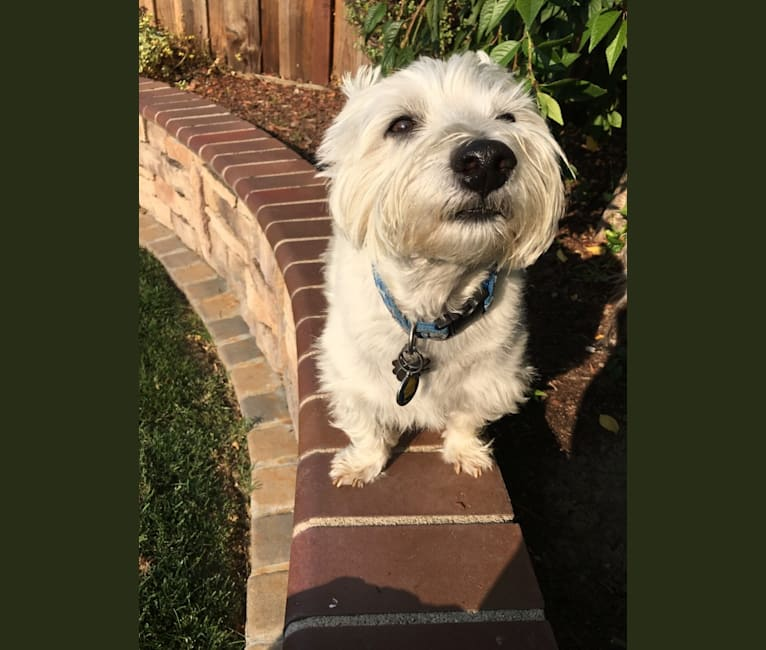 Photo of Finney, a West Highland White Terrier  in Modesto, California, USA