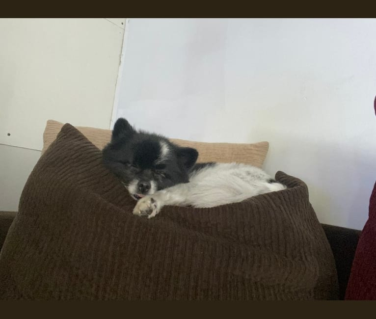 Photo of Casey, a Pomeranian  in South Lyon, Michigan, USA