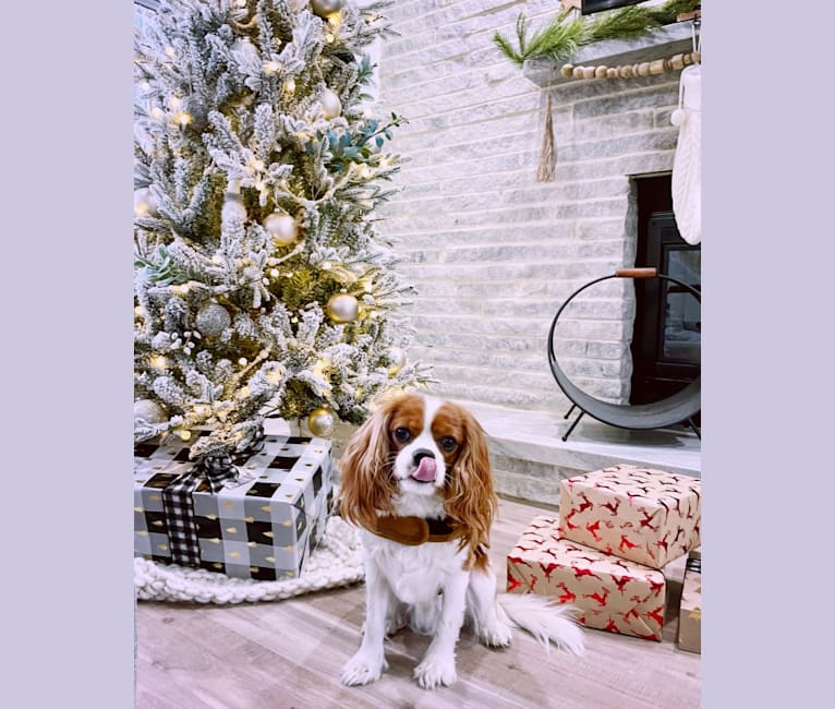 Photo of Billy, a Cavalier King Charles Spaniel  in Doylestown, Ohio, USA