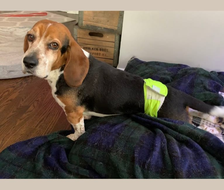 Photo of Toby, a Beagle  in Lisle, Illinois, USA