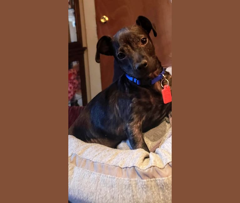 Photo of Mollie, a Chihuahua, Poodle (Small), and Mixed mix in 805 North 40th Street, Clear Lake, IA, USA