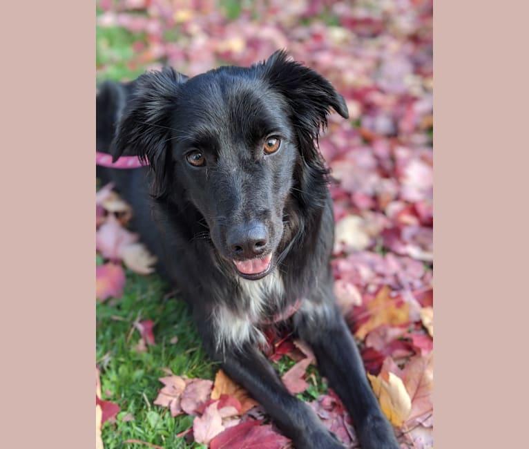 Photo of Lyra, an English Shepherd, Border Collie, Australian Shepherd, and Australian Cattle Dog mix in Eugene, Oregon, USA