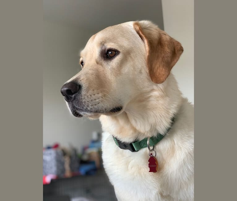 Photo of Hudson Niemel-Spitzer, a Labrador Retriever, Border Collie, Golden Retriever, and Rottweiler mix in Kearny, New Jersey, USA