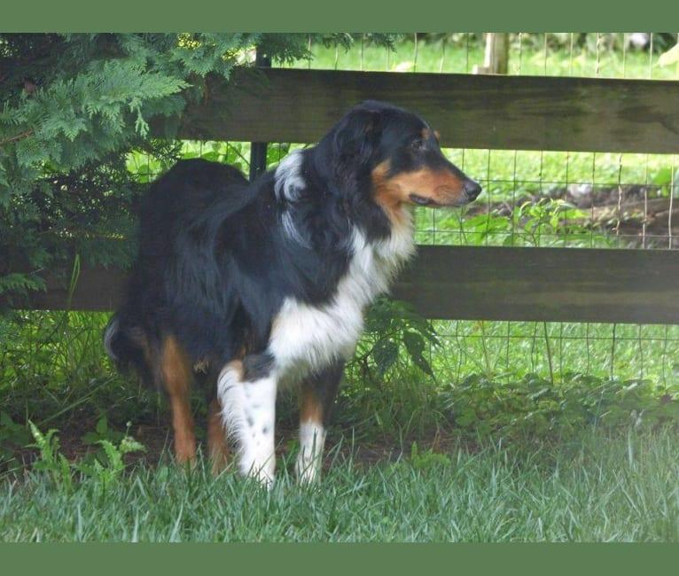Photo of Jebediah Raphael, an English Shepherd  in Sycamore Spring Farm, Elmer Derr Road, Frederick, MD, USA