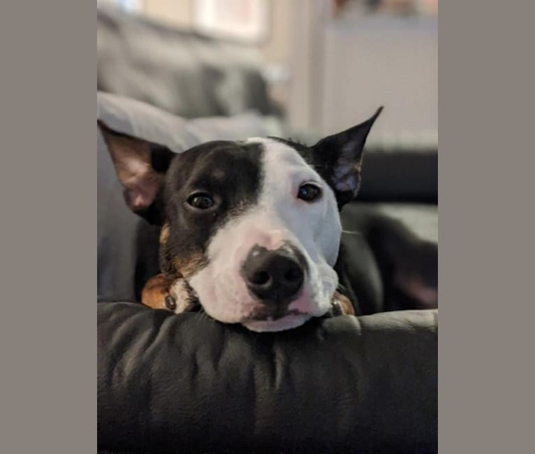 Photo of Kubo, an Australian Cattle Dog, American Pit Bull Terrier, Bulldog, and Mixed mix in Atlanta, Georgia, USA