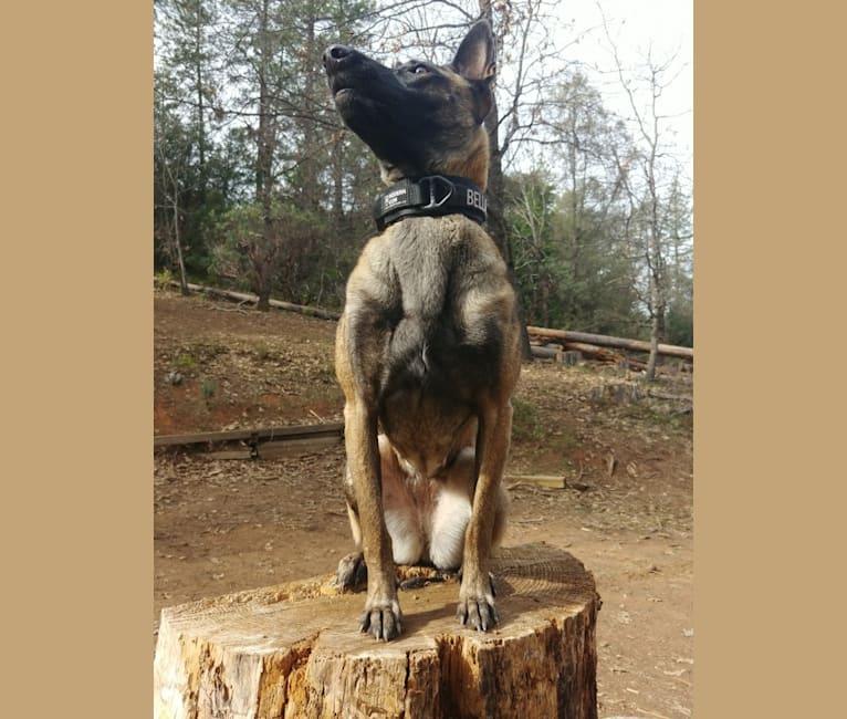 Photo of Bella, a Belgian Shepherd  in Glencoe, California, USA