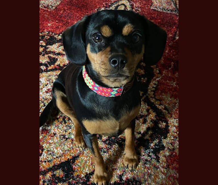 Photo of Puppy Dear, a Cavalier King Charles Spaniel, Chihuahua, and Cocker Spaniel mix in Gilbert, Arizona, USA